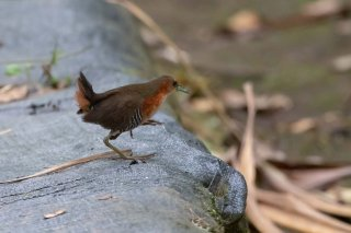 Rufous-sided-Crake.jpg
