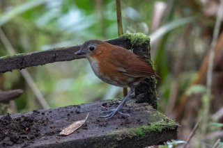 Rusty-tinged-Antpitta.jpg