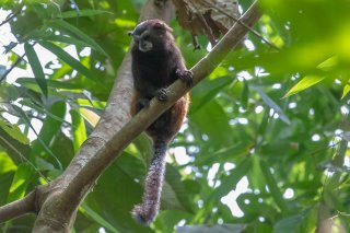 Saddleback-Tamarin-Monkey.jpg