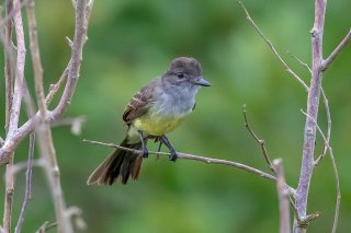Short-crested-Flycatcher.jpg