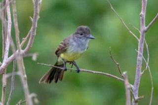 Short-crested-Flycatcher.jpg