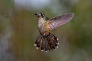 Speckled-Hummingbird.jpg