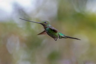 Sword-billed-Hummingbird.jpg