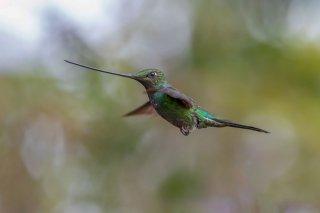 Sword-billed-Hummingbird.jpg