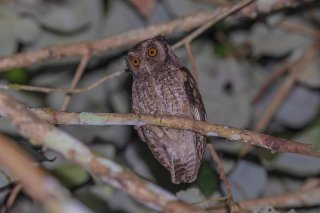 Tawny-bellied-Screetch-Owl.jpg