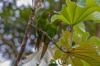 White-eyed-Parakeet.jpg