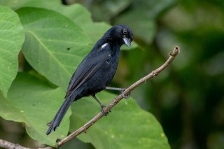 White-lined-Tanager.jpg