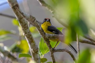 Yellow-breasted-Brushfinch.jpg