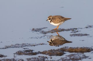 Common-Ringed-Plover.jpg