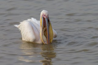 Great-White-Pelican-fish-caught.jpg