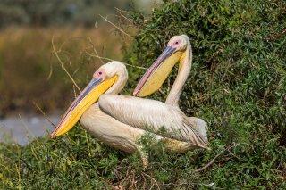 Great-White-Pelican-pair.jpg
