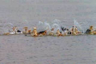 Great-White-Pelikcan-fishing.jpg