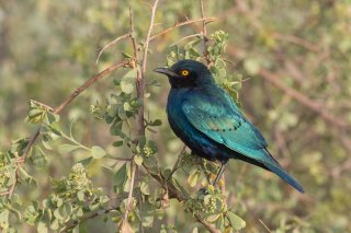 Greater-Blue-eared-Starling.jpg