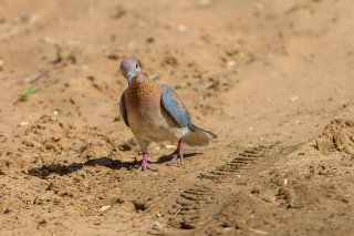 Laughing-Dove.jpg