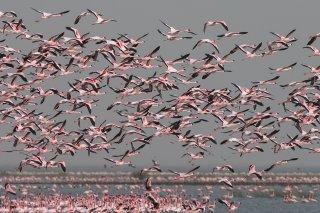 Lesser-Flamingo.jpg