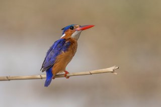 Malachite-Kingfisher.jpg