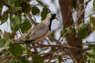 Namagua-Dove.jpg
