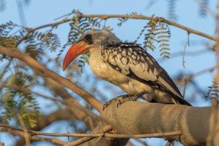 Western-Red-billed-Hornbill.jpg