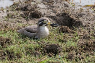 Greater-Thick-knee.jpg