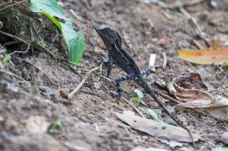 Horned-Lizard.jpg
