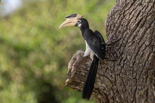 Malabar-Pied-Hornbill.jpg