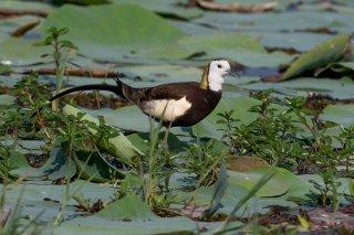 Pheasant-tailed-Jacamar.jpg