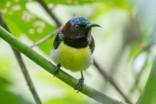 Purple-rumped-Sunbird.jpg