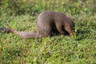 Ruddy-Mongoose.jpg