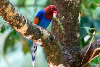 Sri-Lanka-Blue-Magpie.jpg