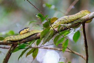 Sri-Lanka-Green-Pit-Viper.jpg