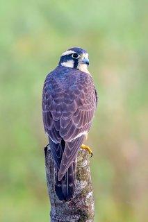 Aplomado-Falcon.jpg
