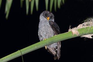 Black-and-White-Owl.jpg