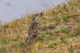 Eastern-Meadowlark.jpg