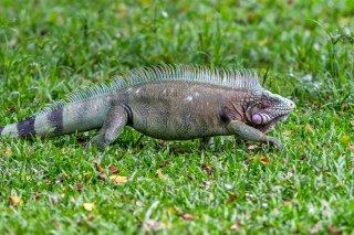 Green-Iguana.jpg