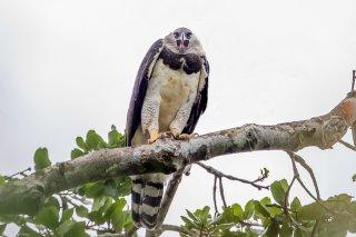 Harpy-Eagle.jpg