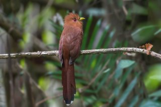 Little-Cuckoo.jpg