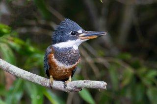 Ringed-Kingfisher.jpg