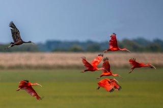 Scarlet-Ibis.jpg