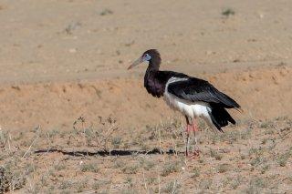 Abdim-Stork.jpg