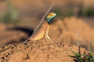 Agama-Lizard.jpg
