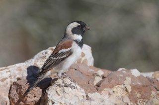 Cape-Sparrow.jpg