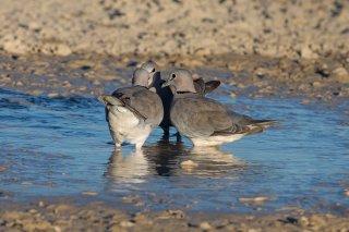 Cape-Turtle-Dove.jpg