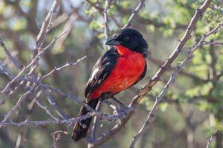 Crimson-breasted-Shrike.jpg