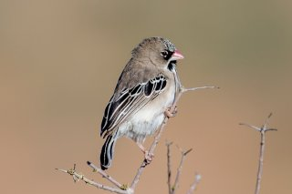 Scaly-feathered-Finch.jpg