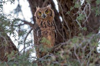 Spotted-Eagle-Owl.jpg
